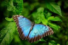 蓝色蝴蝶大Morpho, Morpho peleides,坐绿色叶子,墨西哥 热带森林 免版税库存图片