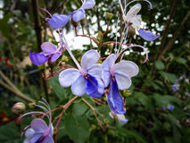 蓝色蝴蝶的舞蹈 免版税库存照片