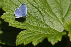 蓝色蝴蝶绿色霍莉叶子 免版税库存照片