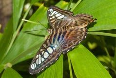 蓝色蝴蝶飞剪机lilacinus parthenos sylvia 库存照片