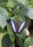 蓝色蝴蝶, Morpho的种类,法属圭亚那 图库摄影