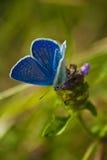 蓝色蝴蝶-共同的蓝色(Polyomathus艾卡罗计) 库存照片