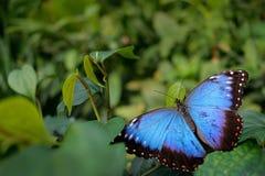 蓝色蝴蝶 蓝色Morpho, Morpho peleides,大蝴蝶坐绿色叶子 美丽的昆虫在自然栖所, wildl 库存图片