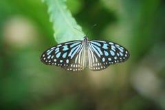 蓝色蝴蝶 库存图片