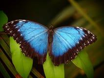 蓝色蝴蝶morpho 热带昆虫宏指令 五颜六色的动物背景 免版税图库摄影
