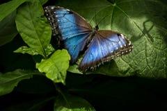 蓝色蝴蝶morpho 免版税库存图片