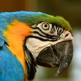 蓝色&金子,鹦鹉,亚马逊鹦鹉 图库摄影