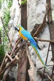 蓝色&金金刚鹦鹉纵向  库存照片
