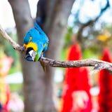 蓝色&金金刚鹦鹉纵向 免版税库存图片