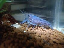 蓝色aqurium龙虾 免版税库存照片