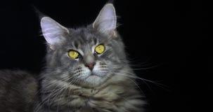 蓝色Blotched平纹缅因浣熊家猫,女性画象反对黑背景,诺曼底的在法国,慢动作 股票录像
