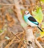 蓝色breasted翠鸟 免版税库存图片