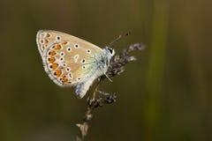 蓝色butterflye公用 免版税库存照片