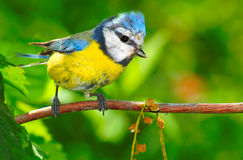 蓝色caeruleus cyanistes山雀 免版税图库摄影