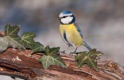 蓝色caeruleus parus山雀 图库摄影