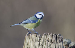 蓝色caeruleus parus山雀 免版税图库摄影
