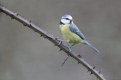 蓝色caeruleus parus山雀 免版税库存照片