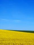 蓝色canola域天空 库存图片