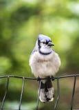 蓝色cristata cyanocitta杰伊 库存图片
