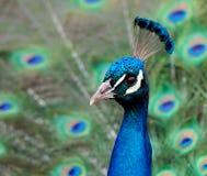 蓝色cristatus印第安孔雀座孔雀 库存图片