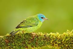 蓝色Dacnis, Dacnis cayana,与红色头,哥斯达黎加的异乎寻常的热带蓝色唐纳雀的女性 在自然habi的蓝色和绿色歌手 免版税图库摄影