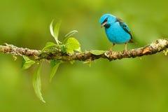 蓝色Dacnis, Dacnis cayana,与黄色腿,哥斯达黎加的异乎寻常的热带逗人喜爱的唐纳雀 蓝色歌手在自然栖所 美丽 免版税库存图片