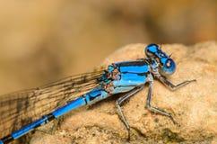 蓝色Damesfly侧视图 免版税图库摄影