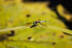 蓝色dasher男性蜻蜓Pachydiplax longipennis 免版税库存照片