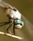 蓝色dasher蜻蜓longipennis pachydiplax 免版税库存图片