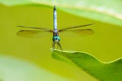 蓝色dasher蜻蜓关闭与在绿色涂的翼 免版税库存图片