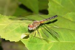 蓝色Dasher蜻蜓女性 免版税库存图片