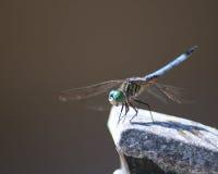 蓝色dasher蜻蜓春天 库存图片