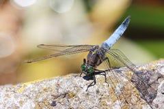 在石头的蓝色蜻蜓 库存照片
