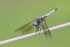 蓝色dasher蜻蜓longipennis pachydiplax 库存照片
