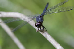 蓝色dasher蜻蜓longipennis pachydiplax 免版税图库摄影