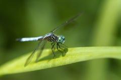 蓝色Dasher蜻蜓Pachydiplax longipennis 免版税库存照片