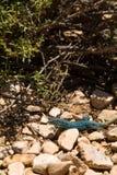 蓝色formentera蜥蜴 免版税库存照片