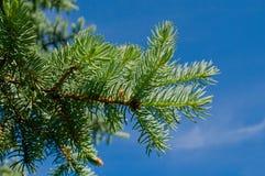 蓝色furtree天空 库存照片