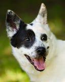 蓝色heeler或澳大利亚牛狗 免版税图库摄影