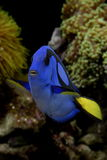 蓝色hepatus河马paracanthurus豪华特性 免版税库存图片
