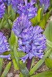 蓝色Hyacinthus 库存照片