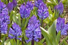 蓝色Hyacinthus 免版税库存照片