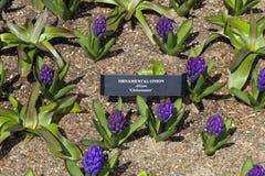 蓝色Hyacinthus 免版税图库摄影