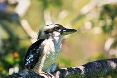 蓝色kookaburra结构树飞过了 库存图片