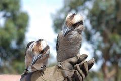 蓝色kookaburra飞过了 库存照片