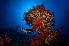 蓝色korals红色星期日乌龟 库存照片