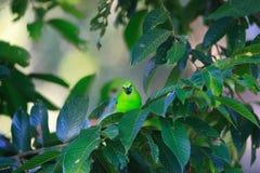 蓝色leafbird飞过了 库存图片