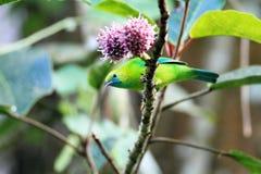 蓝色leafbird飞过了 图库摄影