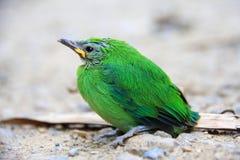 蓝色leafbird飞过了 免版税库存照片