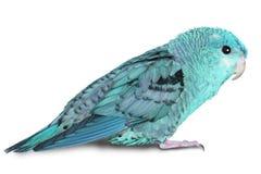 蓝色lineolated长尾小鹦鹉 免版税库存图片